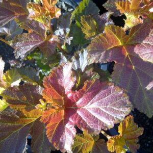 physocarpus-opulifolius-amber-jubilee-ninebark