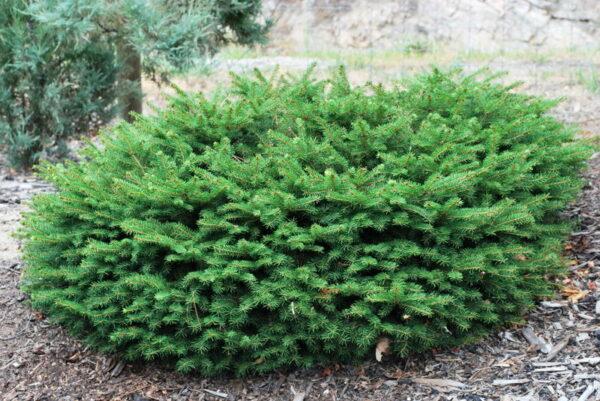 picea-abies-nidiformis-birds-nest-spruce