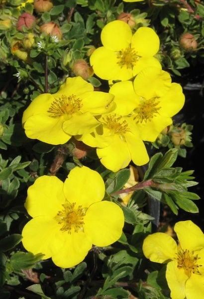 potentilla-fruticosa-gold-star-bloom