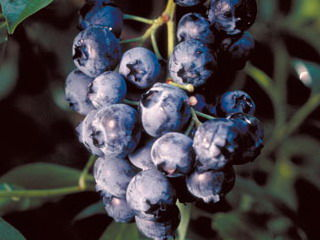 vaccinium-north-country-blueberry