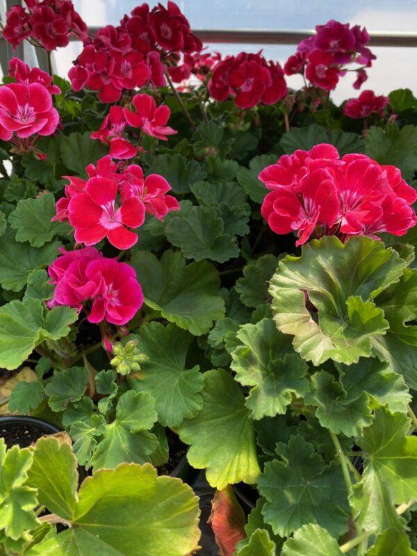 zonal-geraniums-1