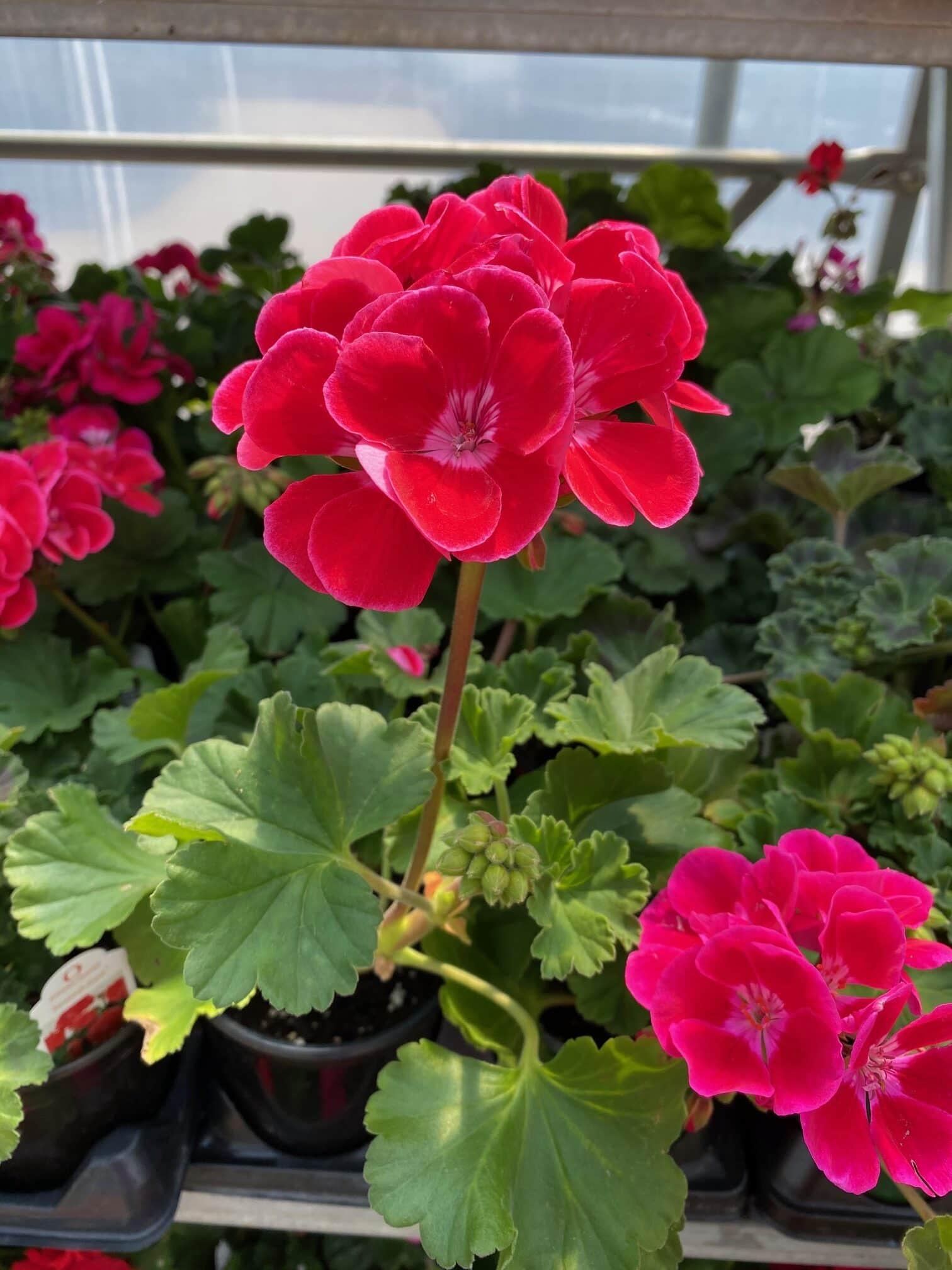 zonal-geraniums