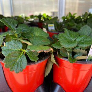 strawberry-4-inche-pot-plant-blue-grass